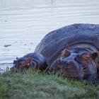 f-31454-hippos