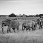 s-31454-elefanter