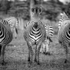 s-31454-zebror