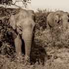e-65761-Elefanter