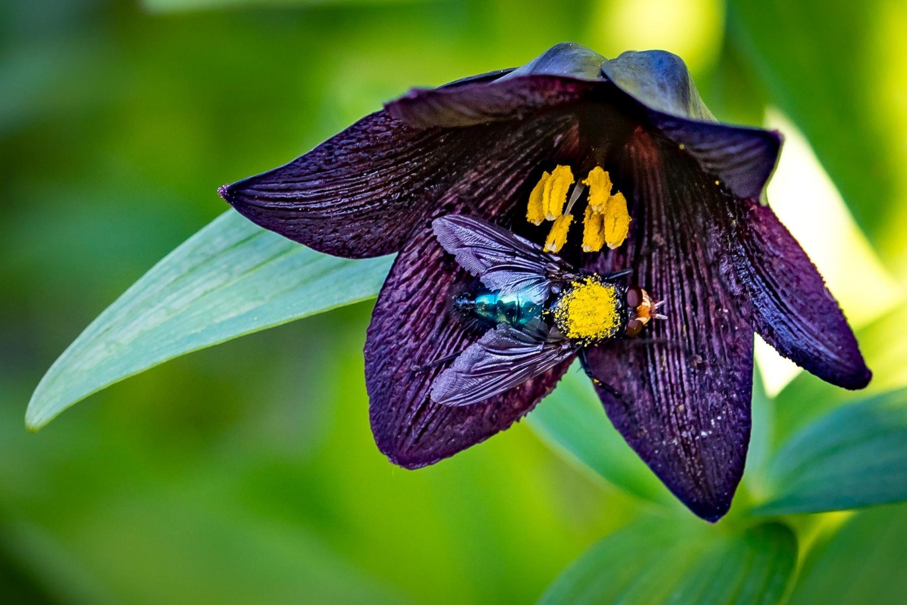 1-Pollinatören