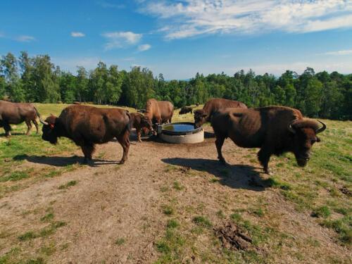 023-bisonfarm 1.jpg
