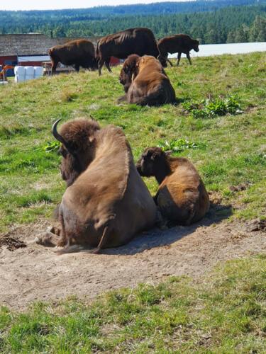 034-bisonfarm 2.jpg