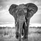 e-31454-elefant