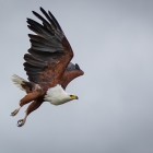 f-31454-fish-eagle