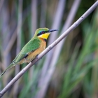 6  Bee-eater