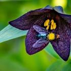 s-31454-pollinatören