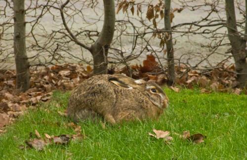 f-25195-Frusen hare